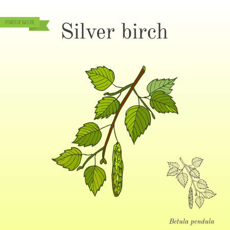 Silver birch branch with green leaves Иллюстрация