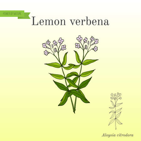 Lemon verbena, or lemon beebrush aloysia citrodora - aromatic and medicinal plant