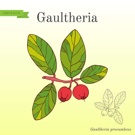 Eastern teaberry or checkerberry, or box-berry, or American wintergreen - gaultheria procumbens - aromatic plant.