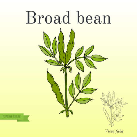 Broad beans or fava beans. Series of vegetables and ingredients for cooking