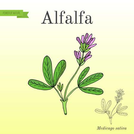 Alfalfa Medicago sativa. vector illustratie