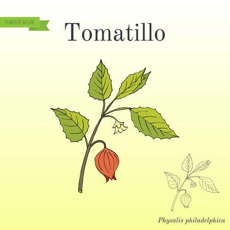 Tomatillo Physalis philadelphica , or husk tomato, Mexican groundcherry Illustration