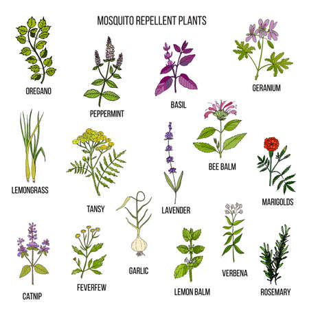 Best mosquito repellent plants Illustration