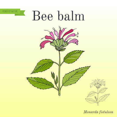 Wild bergamot or bee balm, aromatic and medicinal plant.