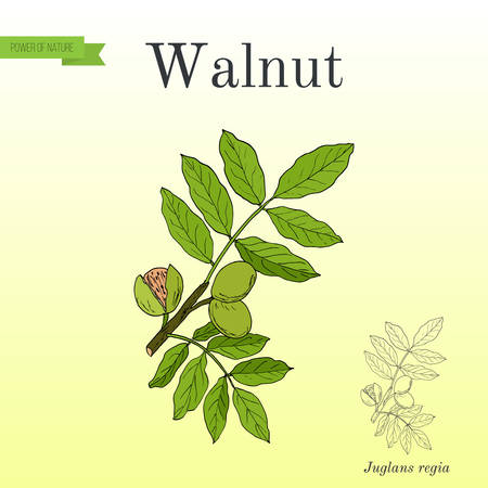 Walnut branch, Juglans regia
