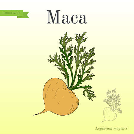 Maca Lepidium, meyenii peruvian superfood Illustration