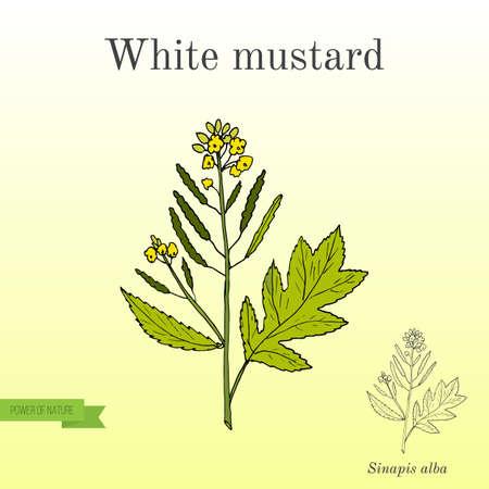 Witte mosterd Sinapis alba. Keuken handgetekende kruiden en specerijen. Stock Illustratie