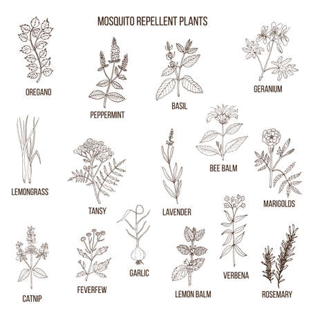Best mosquito repellent plants 向量圖像