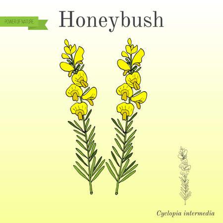 Honeybush Cyclopia intermedia , or Heuningbos, tea plant