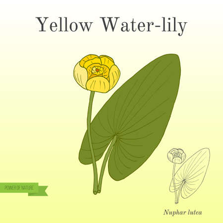Yellow water-lily, or brandy-bottle Nuphar Lutea , aquatic plant Stock Vector - 88974429