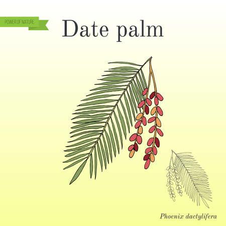 Palmier dattier Phoenix dactylifera, feuille et fruits