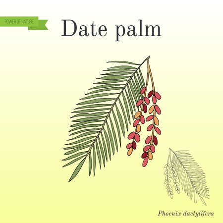 Date palm Phoenix dactylifera , leaf and fruits