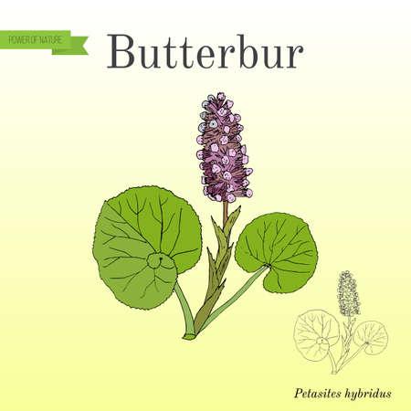 Butterbur Petasites hybridus, geneeskrachtige plant