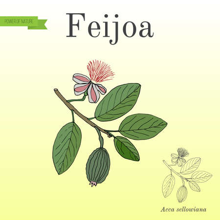 Feijoa Acca sellowiana , or pineapple guava and guavasteen, fruit plant Illustration