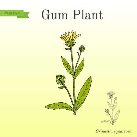 Gum Plant Grindelia squarrosa illustration.
