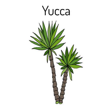 Yucca gloriosa medicinal plant illustration.