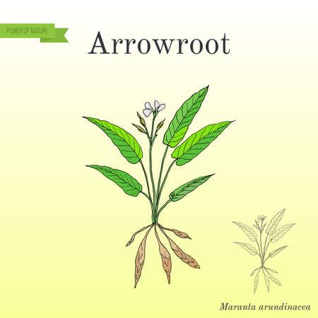 West Indian arrowroot Maranta arundinacea , or obedience plant, araru, ararao Stock Photo