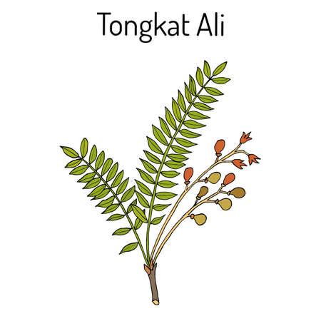 Tongkat Ali Eurycoma longifolia , or Pasak Bumi, medicinal plant. Stok Fotoğraf