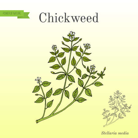 Chickweed Stellaria media medicinal, culinary and honey plant