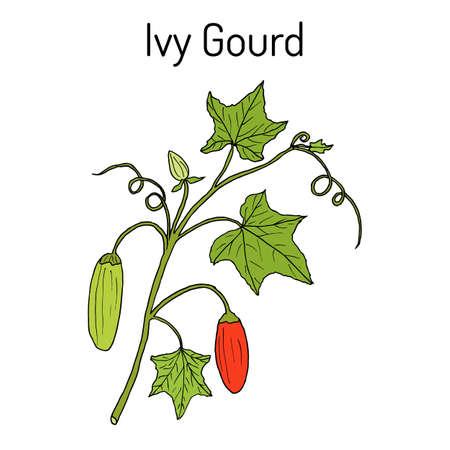 Ivy gourd Coccinia grandis , or Kowai, medicinal plant.