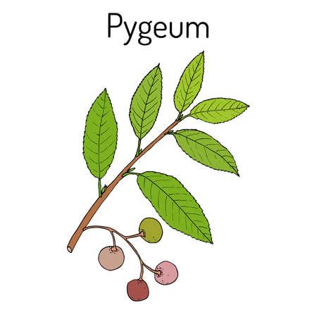 Pygeum Prunus africana , medicinal plant