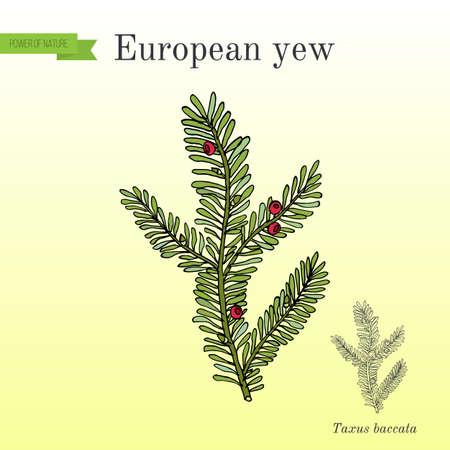 European yew Taxus baccata , poisonous plant