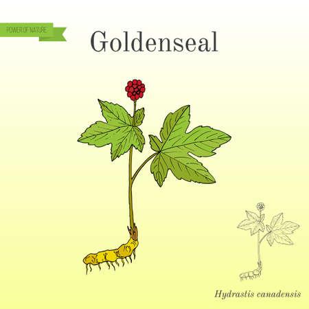 remedial: Goldenseal Hydrastis canadensis , medicinal plant Illustration