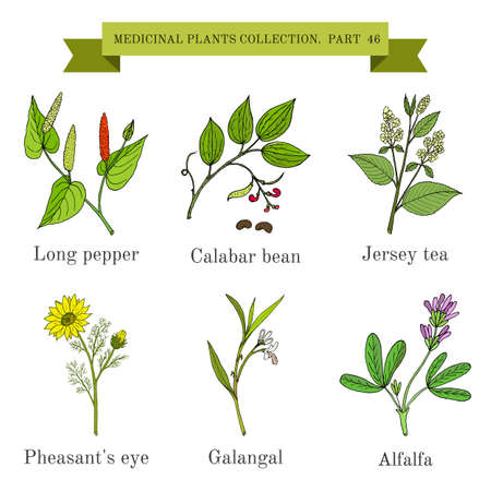 long bean: Vintage collection of hand drawn medicinal herbs and plants