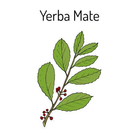 Yerba mate Ilex paraguariensis , medicinal plant