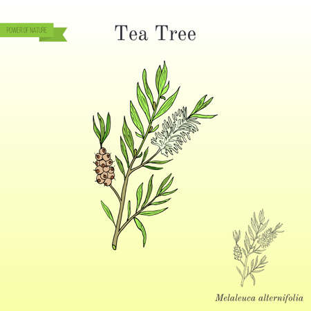 Tea tree Melaleuca alternifolia , or narrow-leaved paperbark - medical plant. Hand drawn botanical vector illustration Illustration