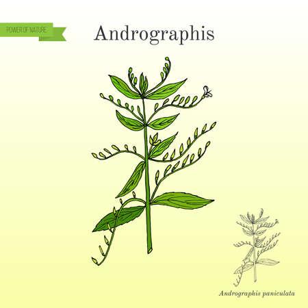 Andrographis paniculata, or king of bitters, ayurvedic herb. Hand drawn botanical vector illustration