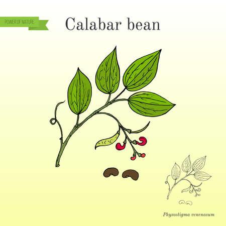 カラバル豆、Physostigma Venenosum、薬用植物  イラスト・ベクター素材