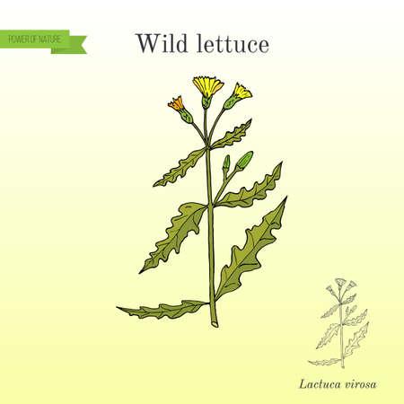 Wild, or prickly lettuce Lactuca serriola , or milk thistle, medicinal plant