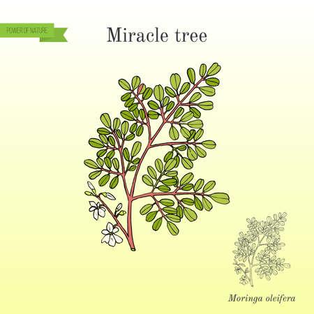 Miracle tree Moringa oleifera illustration.