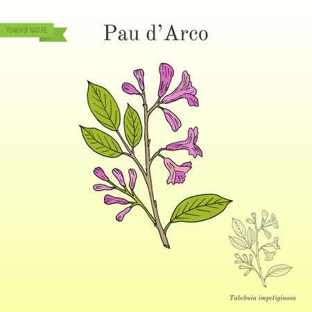 Culinary and medicinal plant illustration.