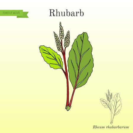 rhubarb: Culinary and medicinal plant illustration.