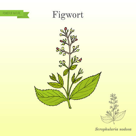 Figwort Scrophularia nodosa , medicinal and honey plant Stock Photo