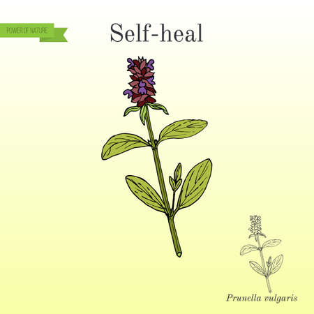 Self-heal Prunella vulgaris , or allheal, medicinal plant Stock Photo