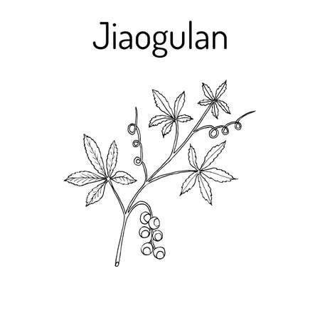 Jiaogulan Gynostemma pentaphyllum , medicinal plant.