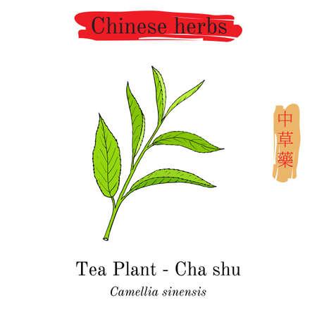Medicinal herbs of China. Tea plant Camellia sinensis