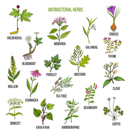 Best antibacterial herbs Stock Vector - 89866087