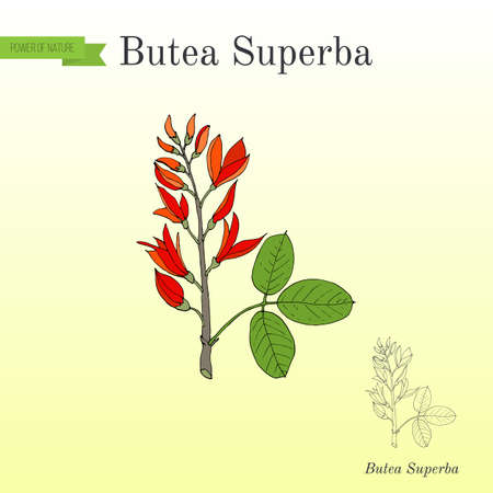 Butea superba asian vining shrub, medicinal plant Illustration