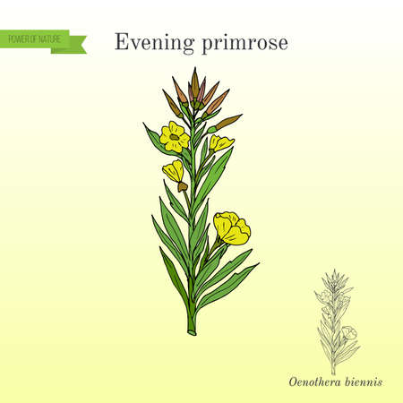 Evening primrose Oenothera biennis , ornamental and medicinal plant