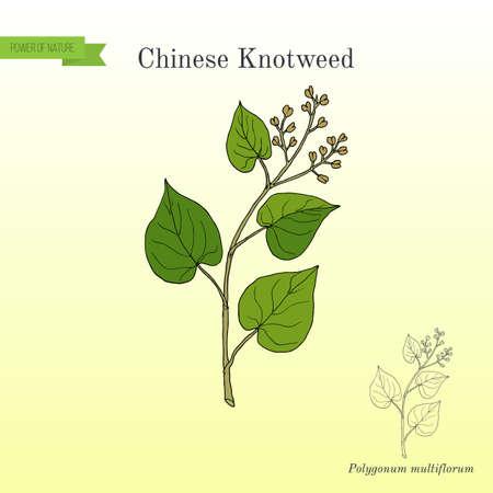 Chinese knotweed Polygonum multiflorum , fo-ti, medicinal plant