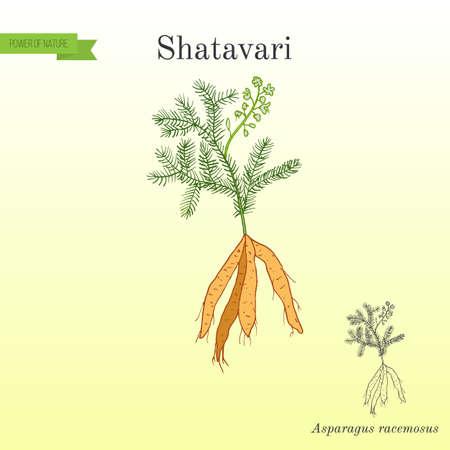 シャタヴァリ アスパラガス-8、または shatamull、薬用植物
