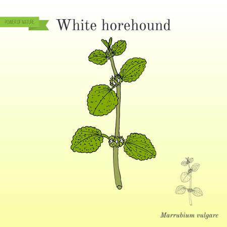 White horehound Marrubium vulgare , medicinal plant  for botanical illustration
