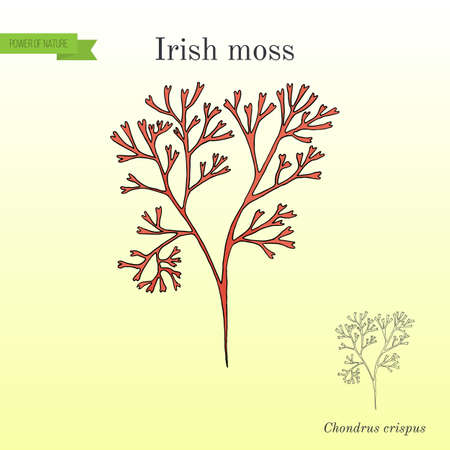 Irish moss Chondrus crispus , red alga vector illustration for educational use