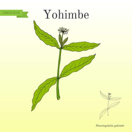 Yohimbe Pausinystalia johimbe , medicinal plant Stock Photo