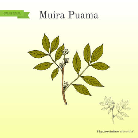 Muira Puama Ptychopetalum olacoides , medicinal plant