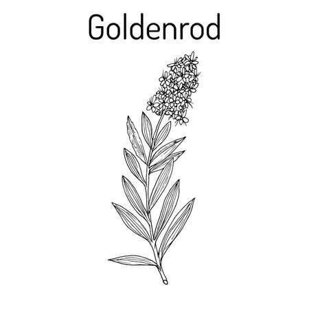 Goldenrod Solidago virgaurea, 또는 Woundwort, 약용 식물